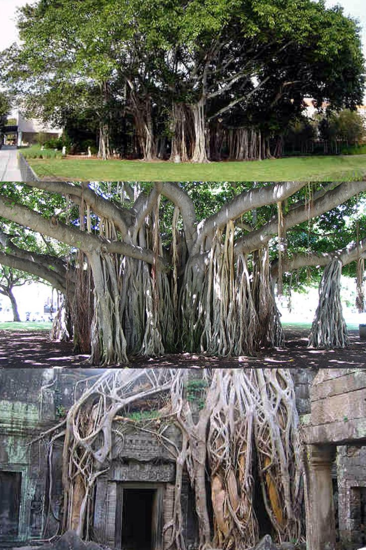 "Magnificent Trees of the World: ""The Banyan tree is named after ""banians"" or Hindu traders who carry out their business under the tree. One of the most famous species of Banyan, called the Sacred Fig [wiki] or Bo tree, is the Sri Maha Bodhi [wiki] tree in Anuradhapura, Sri Lanka. It is said that the tree was grown from a cutting from the original tree under which Buddha became enlightened in the 6th century BC. Planted in 288 BC, it is the oldest living human-planted tree in the world."""