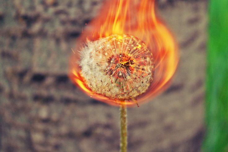 Burning dandelion