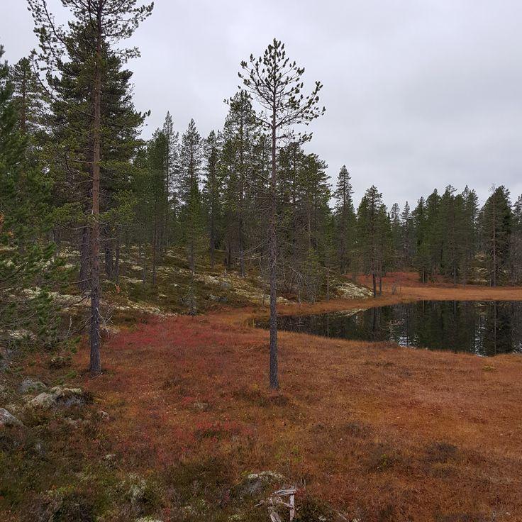 Høst i skogen i Rendalen.