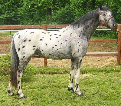 IL PORTALE DEL CAVALLO - razze equine - Knabstrup