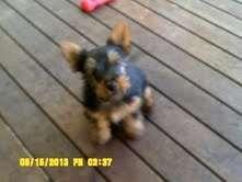 Australian Silky Terrier pups | puppies for sale Brisbane Queensland | Australian Silky Terrier dogs for sale in Australia - http://www.pups4sale.com.au/dog-breed/391/Australian-Silky-Terrier.html