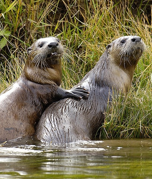 An American River Otter Pair.                                                                                                                                                                                 More