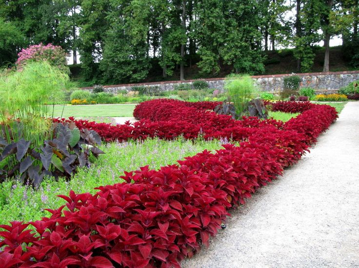 For Fernandez Residence. Biltmore Coleus Border. Thrives in cold climate but grows in shade as well.