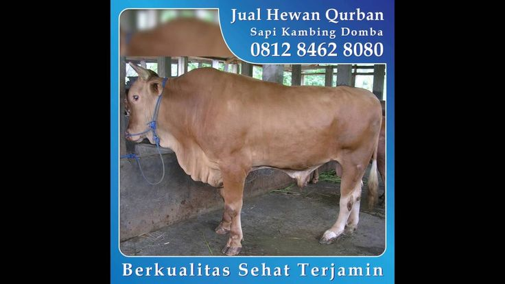 0812_8462_8080 (Tsel) Jual Hewan Qurban di Harapan Indah Pondok Ungu Babelan