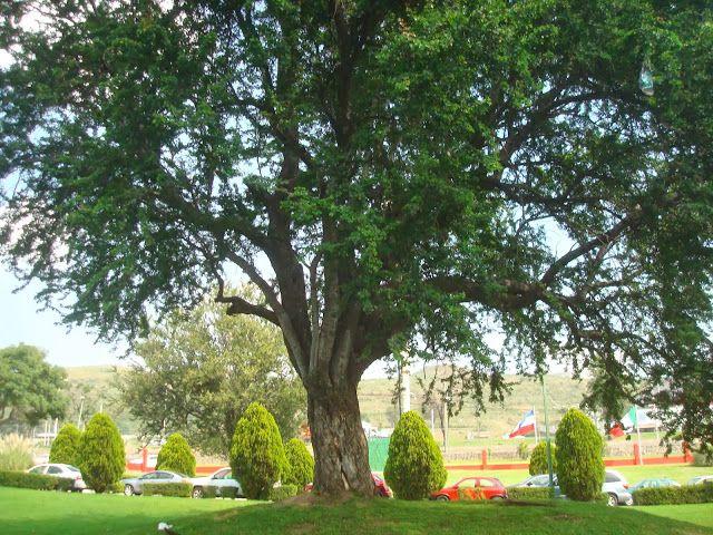 sancarlosfortin: arbol guamuchil de 50 años en jardin de  uvm tlaqu...