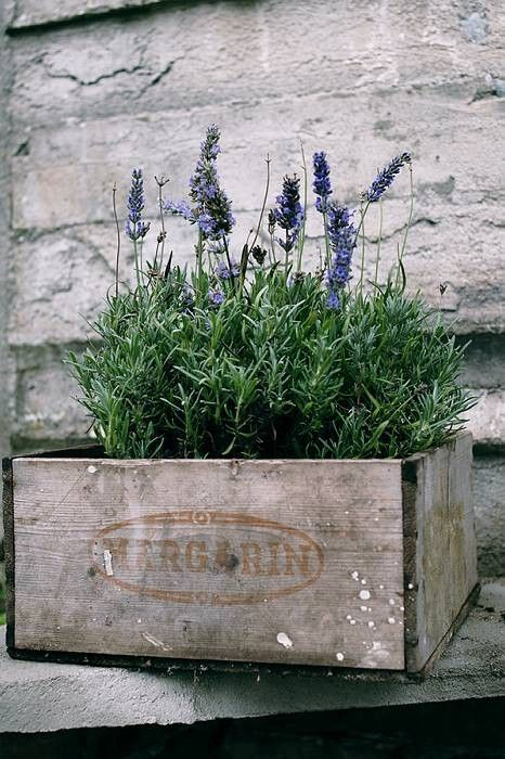 Lavender...I gently glide my hands over the blossoms as I pass by so they smell like lavender