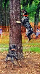 Catahoula Leopard Dog (Catahoula Cur) can strike up to 15 ft.
