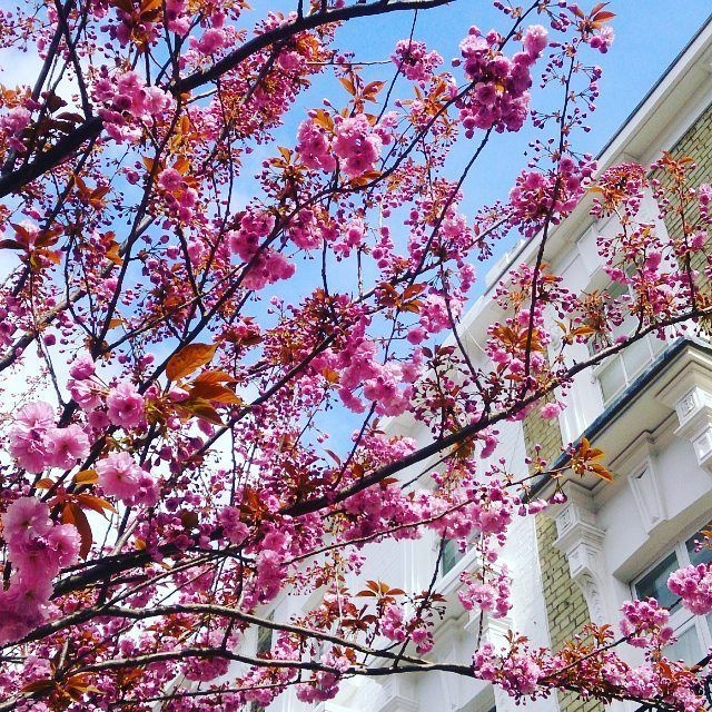 London In Bloom Where To See Magnolia And Cherry Blossom In London And When Cherry Blossom Magnolia Blooming Trees