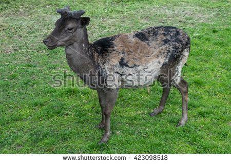 Dark stained deer mouflon green grass meadow profile looking side
