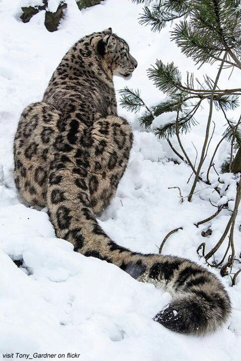 Gorgeous Clouded Snow Leopard Resting in Snow.