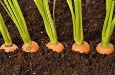 Посадка моркови - интересный способ