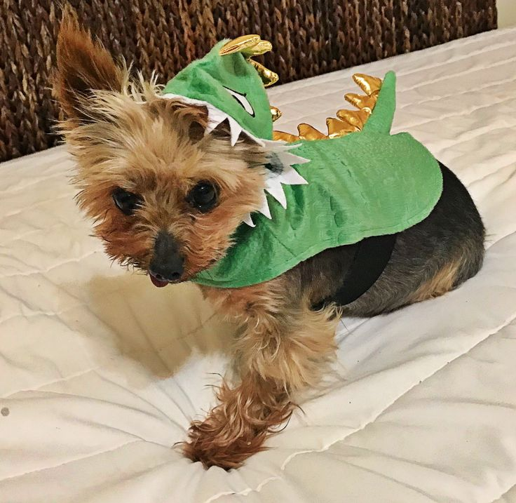 Augustus the Tiny Mighty Yorkshire Terrier Yorkie, puppy mill rescue, senior dog, toothless wonder, tripod, National Mill Dog Rescue, pulmonary hypertension, tiny, small, fur baby