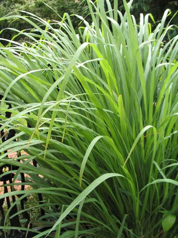 lemongrass as a insect repellent Lemon grass also has insecticidal properties and the extracted oil is used in insect repellents and insecticidal sprays the same chemical compounds are found in all lemon grass varieties, but the.