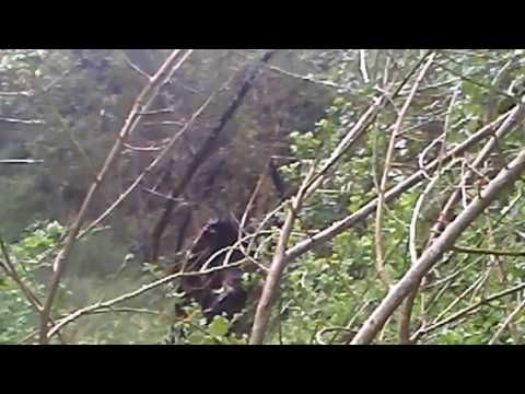 Amazing Bigfoot Footage - YouTube