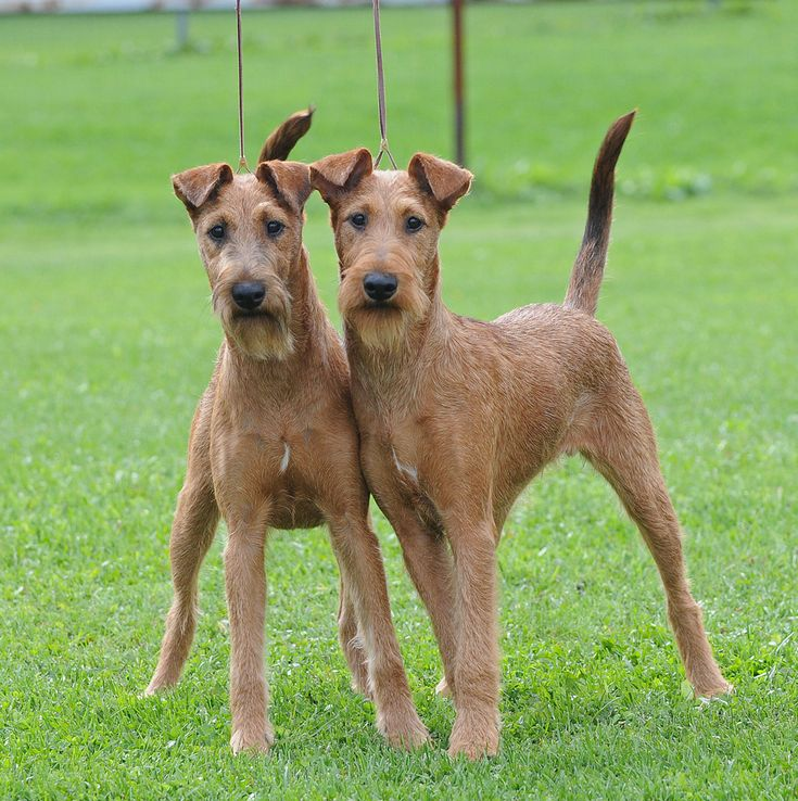 165 best Irish Terrier images on Pinterest | Terrier, Terriers and ...