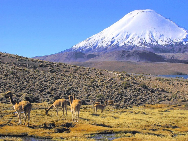 Vicuñas graze in at the feet of Parinacota volcano, which straddles the border between Chile and Bolivia in the Arica Region of Northern Chile.