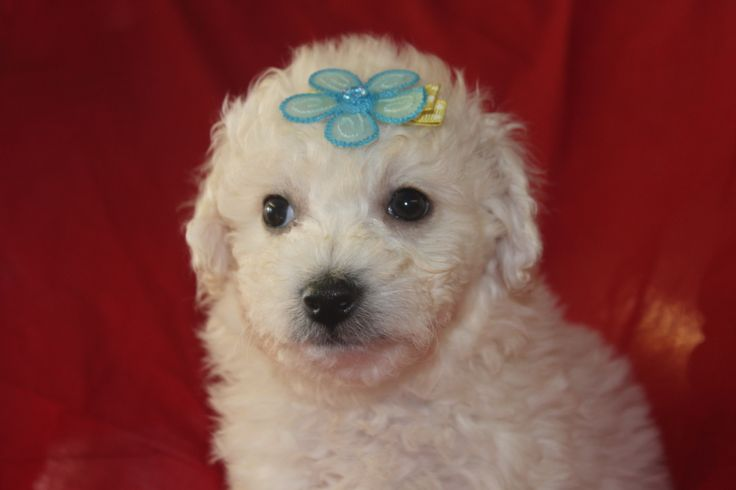 Bichon Frise Puppies - This is a male bichon frise puppy for sale at http://www.network34.com