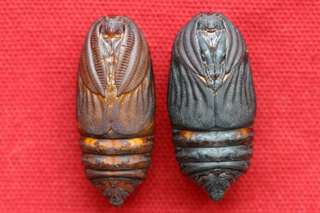 Male and female Cecropia Moth pupae.