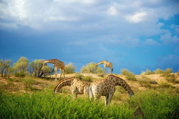 Four Giraffe (Giraffa camelopardalis) feeding. - Four Giraffe (Giraffa camelopardalis) feeding.    • shannonwild.com   • facebook.com/shannonwild   • instagram.com/shannon__wild   • shannon-wild.tumblr.com