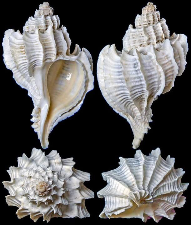 Trophon geversianus (Pallas, 1774)  -  C.Chen