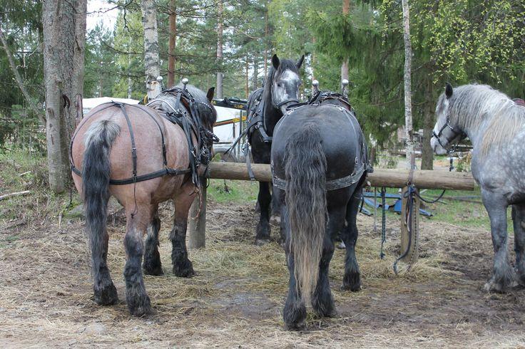 Percheron studs and Swedish Ardenner (Brabant) going to work. Heavy Draft horses. www.tyohevoset.fi