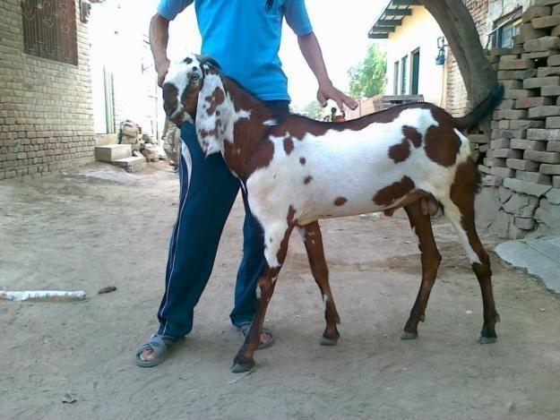 Beetal goat baby