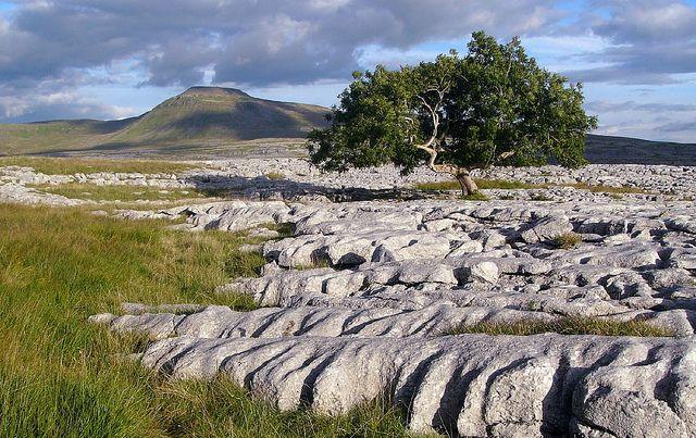 Ash Tree, Limestone, Ingleborough