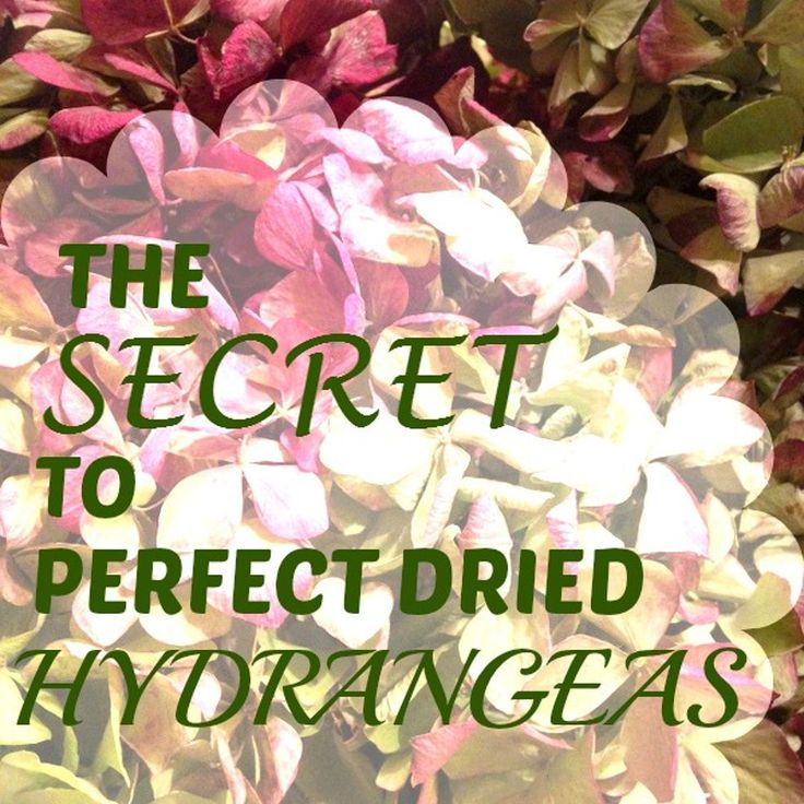 The Secret to Perfect Dried Hydrangeas