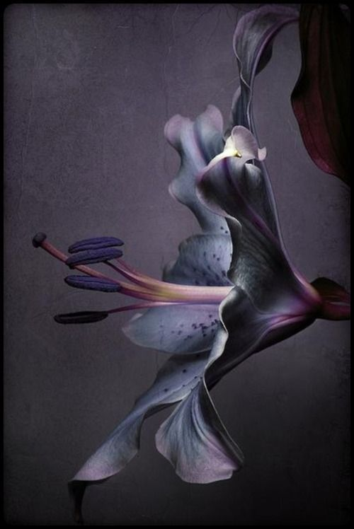 ❈ Fleurs Foncées ❈ dark art photography flowers & botanical prints - Dark Purple Plum Lily