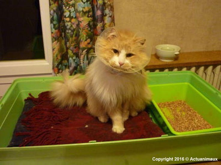 ACTU Animaux - Rourou, chat accidenté, fracture du cubitus et luxation du radius
