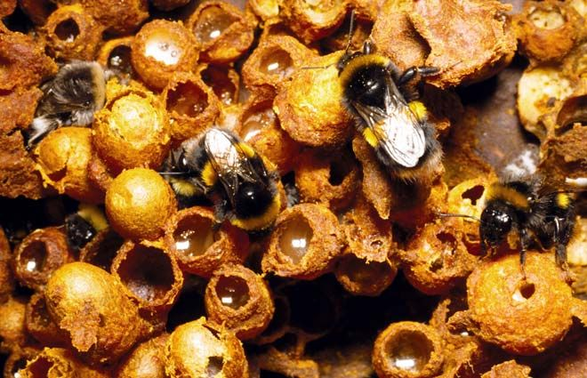 Bumble bees might nest together but they don't work together. There are 12 native bumble bee species in NZ.