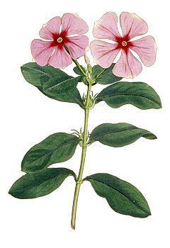 Catharanthus roseus (primorosas), usado para tratar numerosas enfermedades, incluyendo diabetes, malaria y Enfermedad de Hodgkin y en el tratamiento de la leucemia