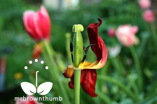 How to Care for Tulips When the Bloom is Gone