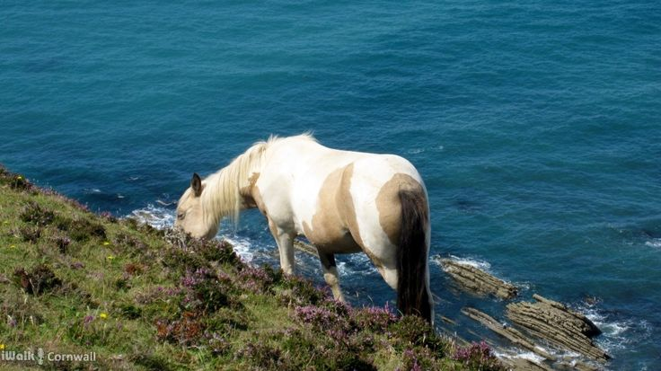 A sure-footed horse grazing on Scrade cliffs, Cornwall