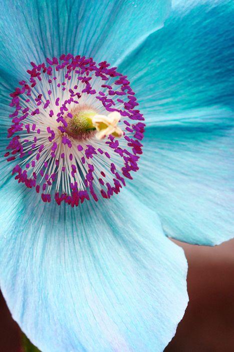 .: Beautiful Flower, Colors Combos, Exotic Flower, Aqua Blue, Colors Combinations, Gardens, Turquois Flower, Blue Flower, Purple Flower