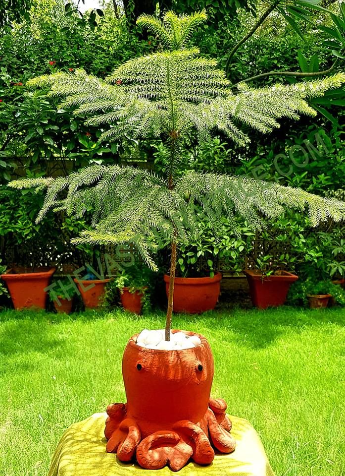 Pyramidal Shaped Trees Like This Norfolk Pine Araucaria Heterophylla Also Known As Christmas Tree In India Are Said To B Norfolk Pine Plants Vastu Shastra
