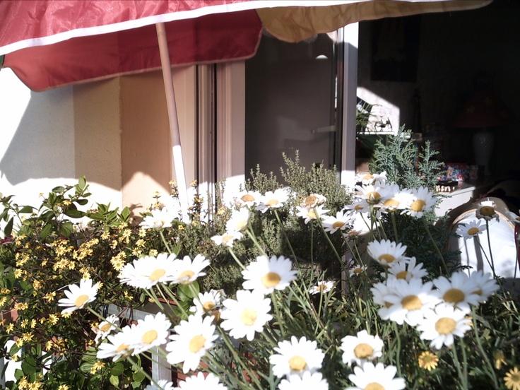 Marguerites à ma fenêtre en été
