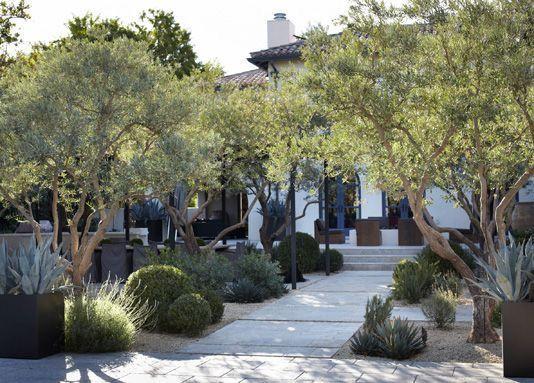 My Mediterranean landscape design; with crushed granite, olive trees, lavender & clipped/cloud pruned shrubs.