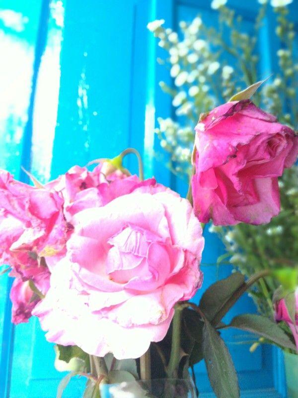 Ini mawar merah muda