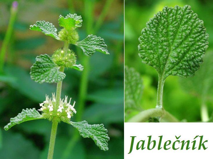bylinka-jablecnik-ucinky-na-zdravi-co-leci-pouziti-uzivani-vyuziti