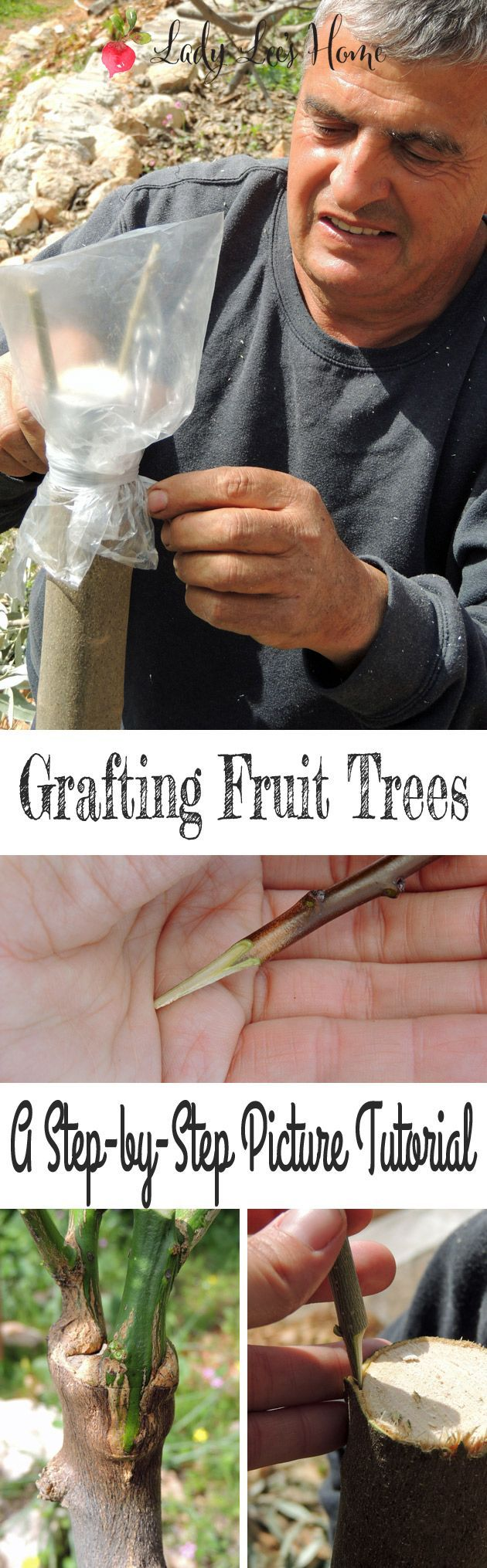 Grafting fruit trees might seem like an intimidating task that not many know how to do... This is a step by step picture tutorial for grafting fruit trees. #LadyLee'sHome