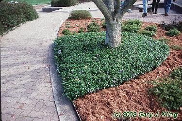 Bowles Periwinkle ground cover. | Sanity W/ Life | Pinterest ...