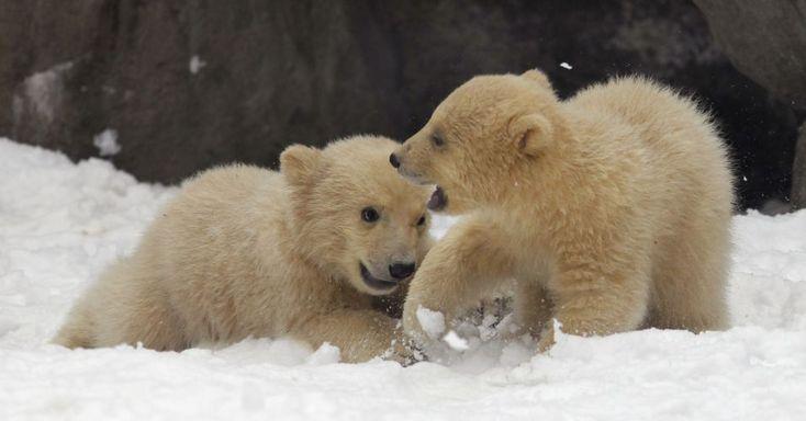 Ursos Polares (Moscou, Rússia) - Filhotes de ursos polares brincam na neve, no zoológico de Moscou.