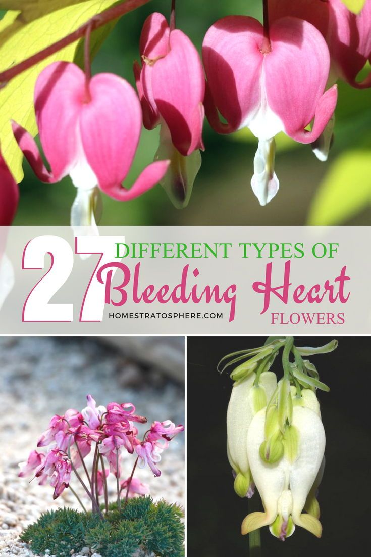 27 Different Types Of Bleeding Heart Flowers Bleeding Heart Flower Heart Bleeding Heart Flower