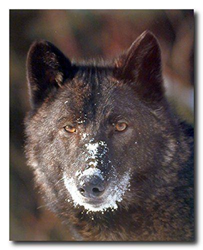 Black Wolf Close Up Wild Animal Wall Decor Art Print Post... https://www.amazon.com/dp/B00E0J74E2/ref=cm_sw_r_pi_dp_x_aBK6xbZ8RBZY3