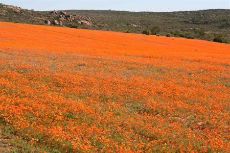 Namakwa's flowers. Springbok via Garies and Kamieskroon.