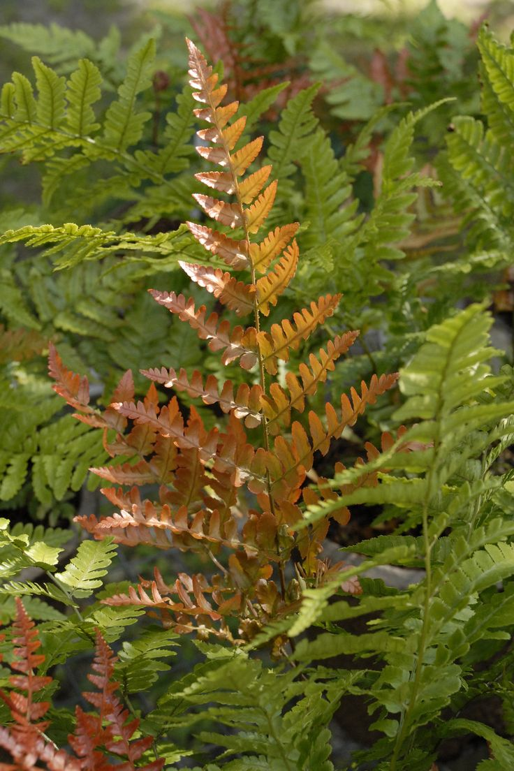 'Brilliance' - Autumn Fern - Dryopteris erythrosora