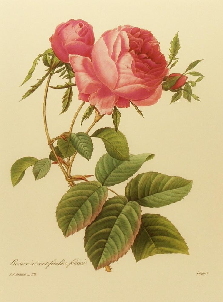 65 best Vintage Botanical Roses images on Pinterest | Drawing ...