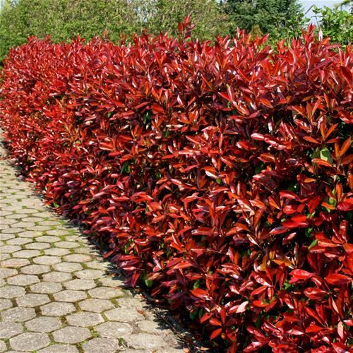 photinia fraserie (red robin) glansmispel