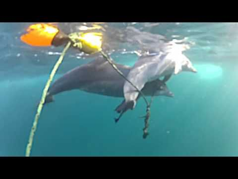 Heartbreaking Footage Of Juvenile Dolphin Caught On Drum Lines In Queensland, Australia...illustrates the indiscriminate way they capture marine life. A juvenile dolphin...is caught on the drum line with the hook embedded in her stomach, as her mother tries desperately to do what she can to keep her alive. As Kyra tried to free herself, she continuously rubbed against the chain associated with the drum line, eventually leaving her blind in one eye. Kyra was taken to S
